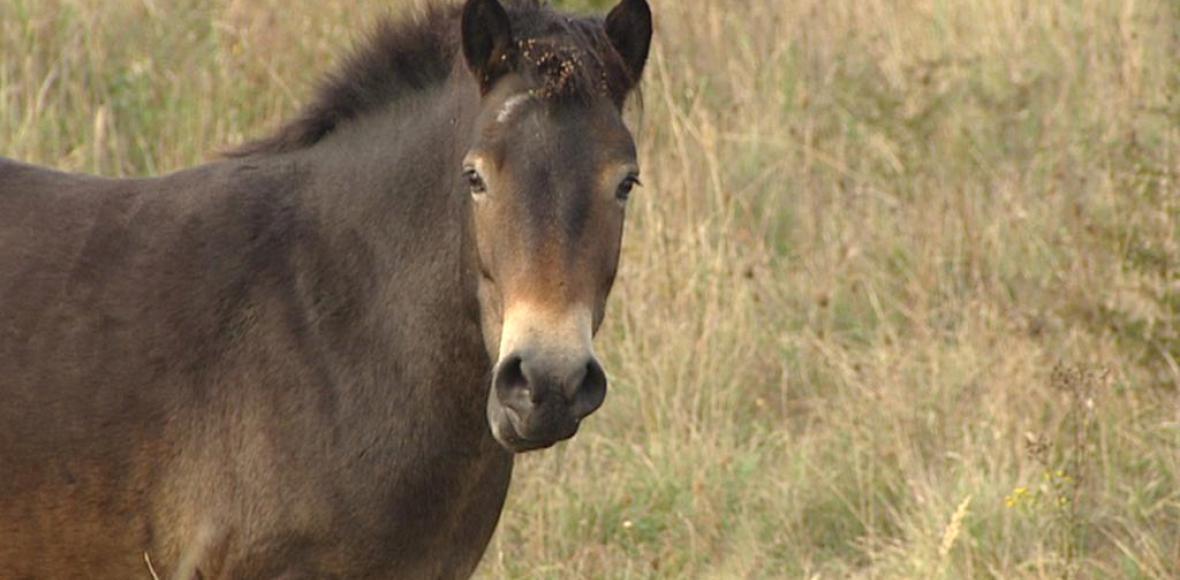 Divokým koním se u Milovic daří, stádo se na jaře rozroste