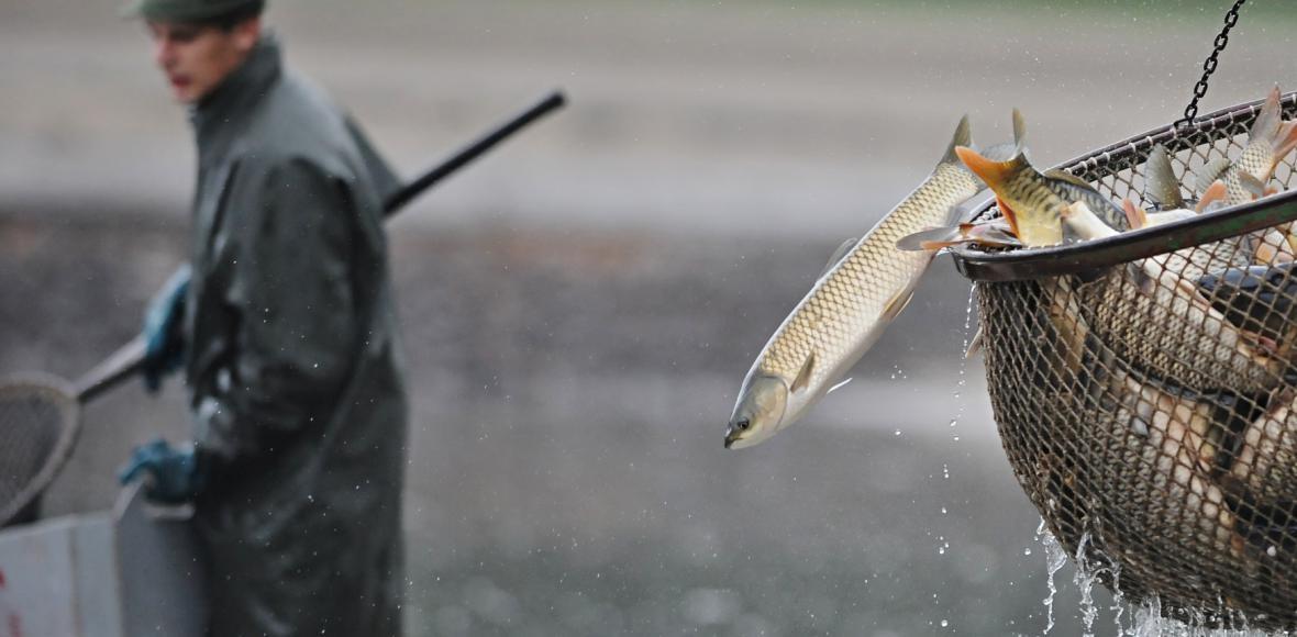 Začaly tradiční podzimní výlovy – rybáři vyrazili na Rožmberk