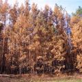 Odumřelé borovice po silném zásahu radioaktivity
