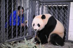 Panda Bao Bao už je v Číně
