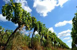 Šobes je nejstarší viniční trať v Česku