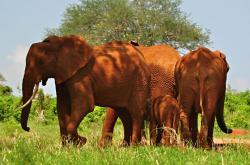 Stádo slonů afrických v národním parku Tsavo East