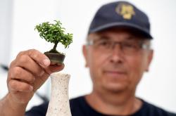Zimostráz malolistý - jedna z rostli ohrožena zavíječem