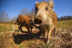 Divoká prasata