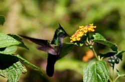 Libora proměnlivá - nejvíce invazivní rostlina světa