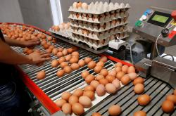 Kontrola vajec na farmě v Belgii