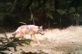 Fotopast zachytila vlka na Kokořínsku