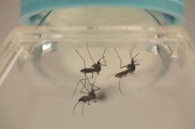 Komár rodu Aedes Aegypti, který přenáší ziku