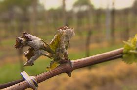 Omrzlý vinohrad