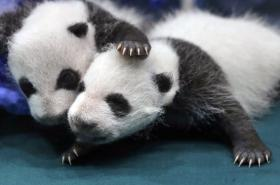 Mláďata pandy velké