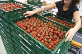 Čerstvá česká rajčata i v zimě jsou na trhu novinkou