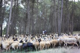 Ve španělsku ovce a kozy prožírají lesy, čímž brání šíření požárů