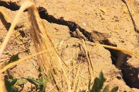 Sucho na jižní Moravě ovlivní výnosy obilí