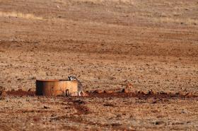 Klokan v australském Novém Jižním Walesu pije z nádrže na vodu