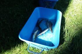 Ryby vylovené z nádrže krátce po omráčení elektřinou
