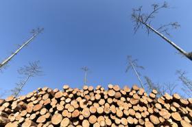 Smrkový les na Vysočině po napadení kůrovcem