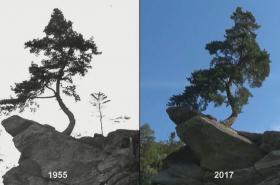 Chudobínská borovice v průběhu let