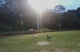Hroch pobíhající po hřišti