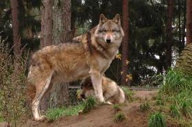 Vlci začínají putovat napříč Německem