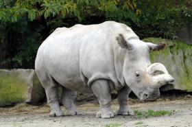 Nosorožec tuponosý (bílý) (Ceratotherium Simum) ve Dvoře Králové n. Labem - snímek z roku 2012