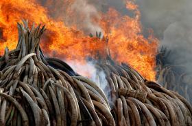 Pálení zabavené slonoviny