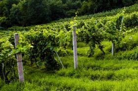 Vinná réva na Špilberku
