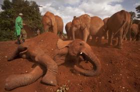Většina slonů zemře kvůli pytlákům