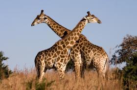 Poddruhy žiraf