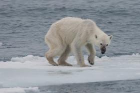 Vyhladovělý lední medvěd