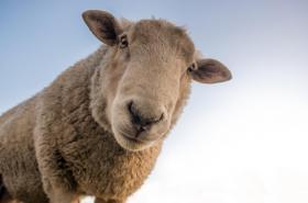 Ovce pomáhá léčit