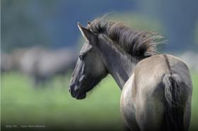 Místo tanků osídlí milovické lesy divocí koně