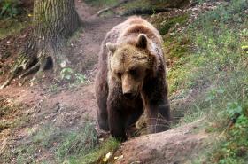 Ilustrační foto: Medvěd hnědý