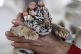 Tygří mládě, ilustrační foto