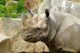 Samice nosorožce Jasmína