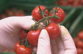 Rajčata ze skleníku