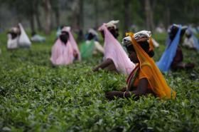 Čajová plantáž v indickém státě Ásám