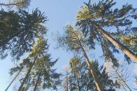 Lesníci kvůli kůrovci vloni vytěžili o polovinu víc dřeva, než předloni