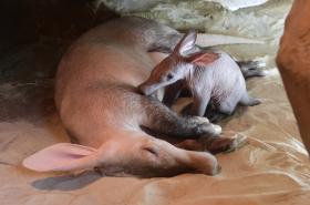 Mládě hrabáče kapského v olomoucké zoo