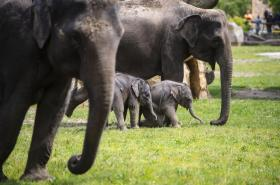 V Zoo Praha se narodila dvě slůňata