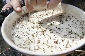 Komáří larvy