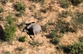 Uhynulý slon v Botswaně