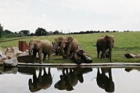 Slonice u jezírka v novém výběhu
