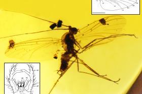 Fosilní moucha Adamacrocera adami