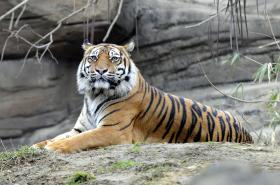 Tygr sumaterský v Zoo Brno