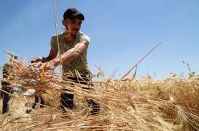 Syrský farmář sklízí úrodu