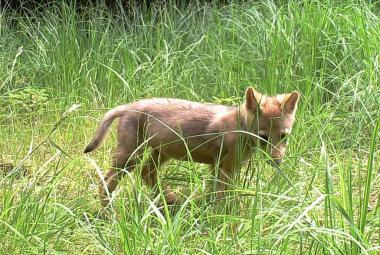 Mládě vlka z Máchova kraje