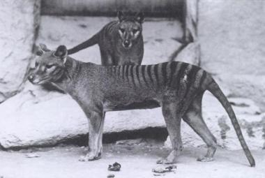 Australská vláda oznámila osm hlášení o pozorování vakovlka. Vymřít měl před osmdesáti lety