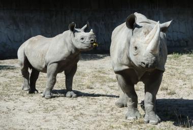 Čína chce znovu povolit obchod s tygřími kostmi a rohy nosorožců. Po 25 letech
