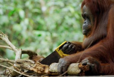Pracovníci plantáže palmy olejné v Indonésii snědli vzácného orangutana