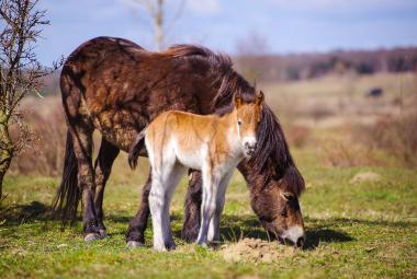 Divocí koně v Milovicích mají první jarní hříbata